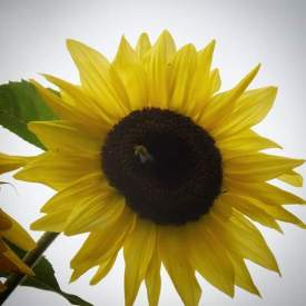 Wandering through my yard, taking time to notice the little things, like the bees enjoying my sunflowers.