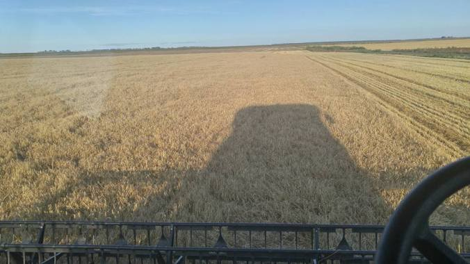 Perry combining wheat 2